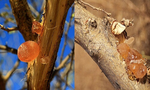 Read more about the article The Hidden Mystery Behind Babul Gond (Acacia Gum)